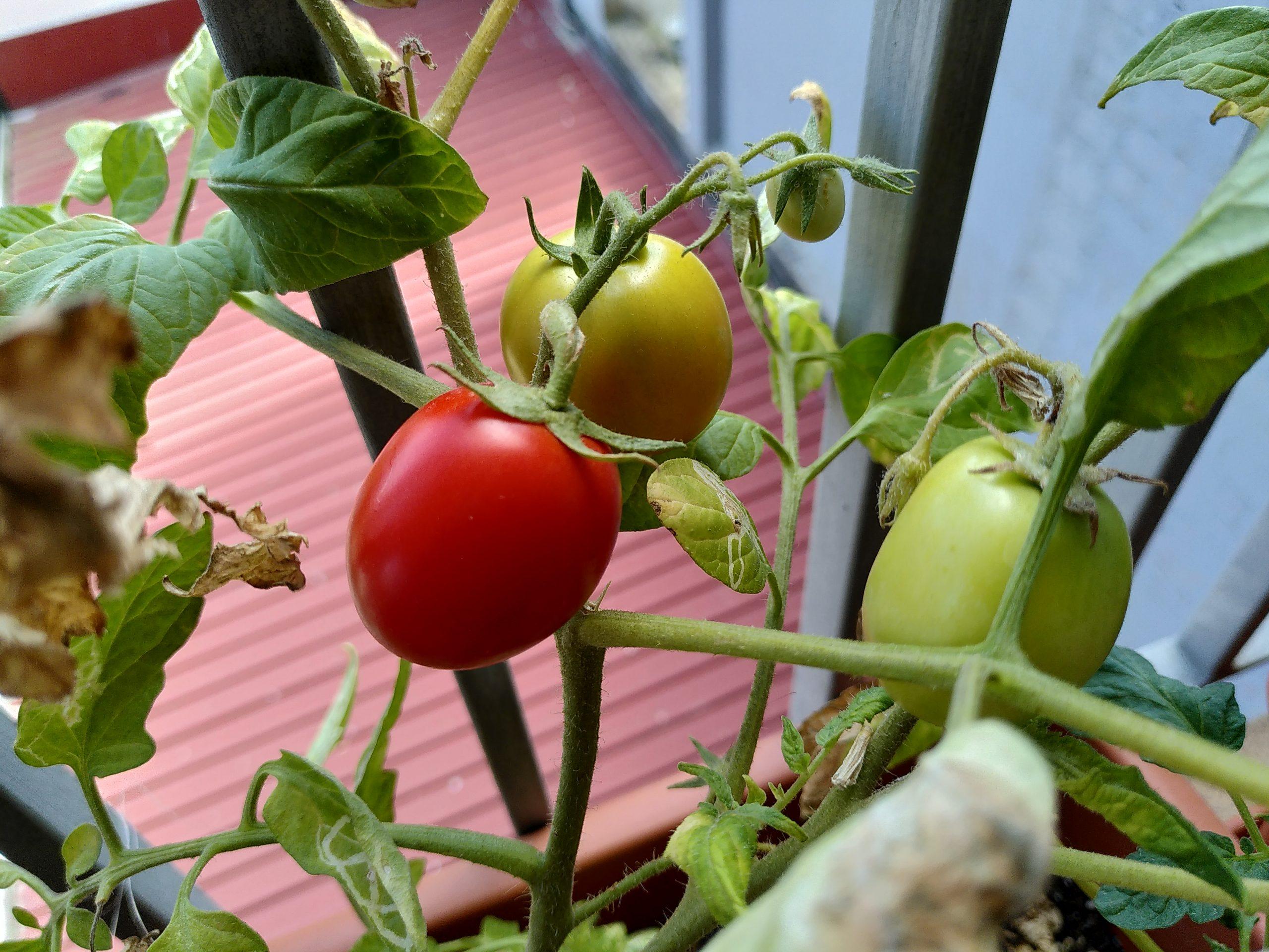 Tomatitos en mi balcón, en distintos grados de maduración